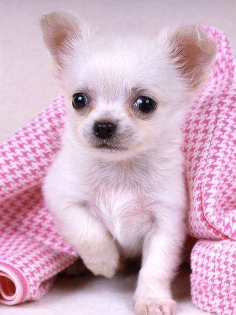 Chiuaua Puppies on Teacup Chihuahua    65129973 2 Adorable Teacup Chihuahua Puppies
